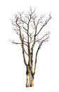 Dead and dry tree is isolated on white background with clipping path Royalty Free Stock Photo