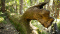 Dead fig tree bokeh Royalty Free Stock Photo