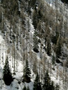 Dead firs in a snowy cliff view of slope with the italian alps Royalty Free Stock Photo