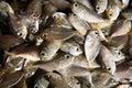 Dead fish Royalty Free Stock Photo