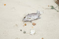 Dead fish on the beach with flies swarming foul smell Stock Photos