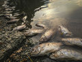 Dead fish on the river. dark water water pollution Royalty Free Stock Photo