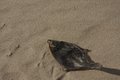 A dead fish on sand flatfish dried out in sun Stock Photos
