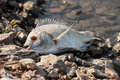 Dead fish at seashore on pebbles Royalty Free Stock Photos