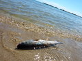 Dead fish on the shore sea pollution concept Stock Photography