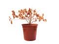 Dead Flower Royalty Free Stock Photo