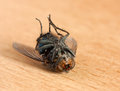 Dead fly macro shot of a dusty housefly lying upside down Royalty Free Stock Images