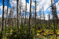 Dead forest in Europe. Royalty Free Stock Photo