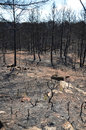 Dead forest is photographed after wildfire there are bare deciduous trees and pine trees with needles burned Royalty Free Stock Photos