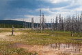 Dead forest in yellowstone national park trees standing fire ravaged Royalty Free Stock Image