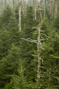 Dead Fraser Firs, Clingmans Dome Stock Photo