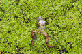 Dead frog lie on wet swamp groundgreen plant ground covered with green plants Stock Photo