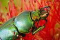 Dead Golden Stag Beetle on Callistemon flower Stock Images