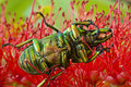 Dead Golden Stag Beetle on red bottlebrush Stock Photos