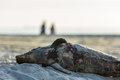 Dead harbour porpoise washed ashore Royalty Free Stock Photo