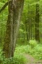 Dead hornbeam stump and path Royalty Free Stock Photo