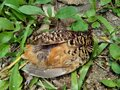 Dead indonesian quail Coturnix ypsilophora, also known as the brown quail, is a small ground-dwelling bird in the New World quai