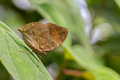 Dead leaf butterfly the orange oakleaf or kallima inachus resting on a Royalty Free Stock Images