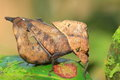 Dead Leaf mimicry Grasshopper Stock Photography