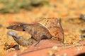Dead Leaf mimicry Grasshopper Royalty Free Stock Photos