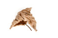 Dead leaf old autumn isolated on white background Royalty Free Stock Photography