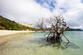 Dead mangrove tree on beach accentuates clean sand and clear sea water in tropical setting near hamilton island resort Stock Images