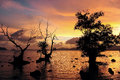 Dead mangrove trees sunset sea Stock Image
