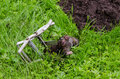 Dead mole caught steel trap lie near mole hill animal with Royalty Free Stock Photos