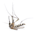Dead mosquito isolated on white background Royalty Free Stock Photo