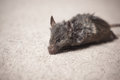 Dead mouse on carpet Royalty Free Stock Photo