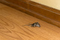 Dead mouse rodent in house or home vermin eek a the is inside a and is just downright disgusting Stock Photography