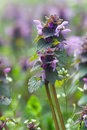 Dead nettle lamium purpureum detail of Stock Image