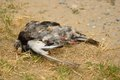 Dead pigeon decomposing on grass Royalty Free Stock Photos