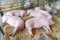 Dead pigs in parlor at farm Stock Photos