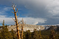 Dead Pine Tree in the Sierra Nevada Royalty Free Stock Photography