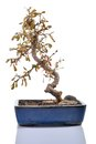Dead plant (Carmona) in a bonsai pot isolated.