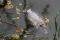 Dead, poisoned fish lies on the river bank.The impact of toxic e Royalty Free Stock Photo