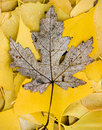 Dead poplar tree leaf on gingko leaves Royalty Free Stock Photography