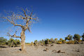 Dead populus euphratica tree under blue sky Royalty Free Stock Image