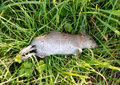 Dead rat with a broken leg on grass