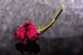 Dead rose unloved broken heart Stock Photos