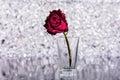 Dead rose unloved broken heart Royalty Free Stock Image