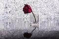 Dead rose unloved broken heart Stock Photography