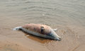 Dead seal on the shore of Lake Baikal. Royalty Free Stock Photo