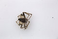 Dead Spider On White Royalty Free Stock Photo