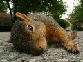 Dead Squirrel Stock Image