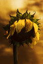 Dead sunflower Stock Image