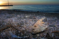 Dead tilapia a fish slow rots on the polluted shores of the salton sea Stock Photography