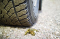 Dead toad under the vehicle wheel blurred background outdoor shot concept of danger of transport Royalty Free Stock Photo