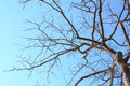Dead tree against blue sky Royalty Free Stock Photo